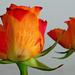 04 Nőnapi rózsák