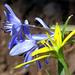 05 Csillagvirágok erdei tyúkhúrral