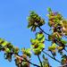 06 A bükkfa virágzata