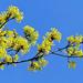 04 A juharfa virágzata