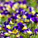 03 Tavasz virágai a kerékpárút mellett