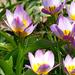05 Tavasz virágai a kerékpárút mellett