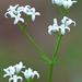 07 A szagos müge virága