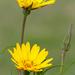 04 Bakszakál virágok