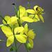 04 Vérehulló fecskefű virága