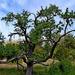 10 Idős vadkörtefa