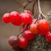 csucsor (Solanum dulcamara)