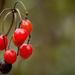 keserű csucsor (Solanum dulcamara)