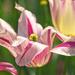 tulipánok (Tulipa)