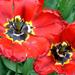 Tulipán pár