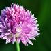 Egy kis lila