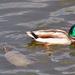 Teknős - kacsa