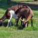 Sziámi kecskék