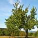 A magányos fa nyár végén