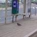madárnak néz a BKV.