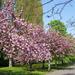 Cseresznyefák virágdíszben