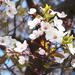 cseresznyevirágok
