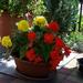 begónia, piros-sárga kertidísz