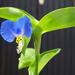 különleges növények, nagyon kicsi és kék pletyka