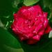 rózsa, esőáztatta piros