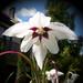 különleges növények, abessin kardvirág