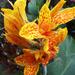 Kanna virág
