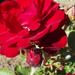 Rózsák 16.