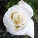 Rózsák 20.
