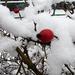 Csipkebogyó hóágyban