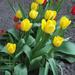 Tulipánok (1)
