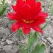 Tulipánok (5)