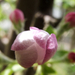 Almafa - virágbimbók