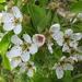 Körtefa virágja