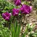 Tulipánok (6)