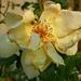 Rózsa 4.