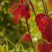 Hálós őszi