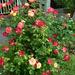 rózsabokor