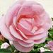 szépséges rózsa