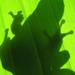 Levelibéka árnyéka egy banánfán