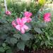 Mocsári hibiscus