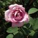 Rózsakert rózsája