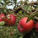 Pirosló almák